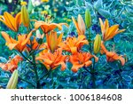beautiful lily flowers bloom in ... | Shutterstock . vector #1006184608