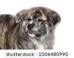 young acita inu puppy dog on... | Shutterstock . vector #1006480990