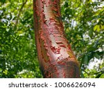 Bursera Simaruba Tree Trunk...
