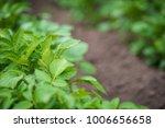 green potato plant. leaf of... | Shutterstock . vector #1006656658