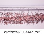 flamingos group at manyara lake ... | Shutterstock . vector #1006662904