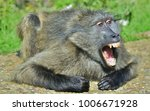 Baboon With Open Mouth  ...