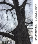Small photo of Big American Elm Tree in winter season