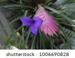 Small photo of epiphytic pink quill (Tillandsia cyanea, Wallisia cyanea)