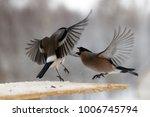 fight between two gray... | Shutterstock . vector #1006745794