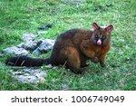 A Brushtail Possum  Trichosuru...