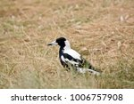 The Magpie Is Looking For Food...