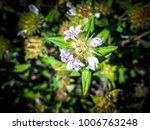Small photo of tiny purple wildflower named an Alligator weed flower - (Alternanthera philoxeroides)