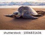 Olive Turtle  Pacific Coast Of...