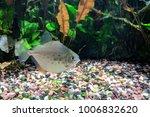 Silver Dollar Fish  Metynnis...