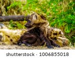 juvenile hyena in kruger... | Shutterstock . vector #1006855018