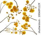 Set Cochlospermum Regium Isolate Also - Fine Art prints