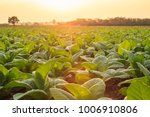 View of young green tobacco...