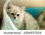 Stock photo natural lighting and shadow of blur grey persian maine coon kitten is using toilet newborn 1006957024