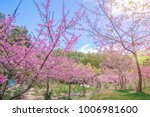 pink blossoms on the branch...   Shutterstock . vector #1006981600