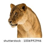Female Lion  Panthera Leo ...