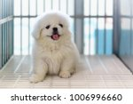 close up of white pekingese... | Shutterstock . vector #1006996660
