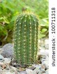 Small photo of Argentina garden hybrid cactus of Trichocereus Grandiflorus