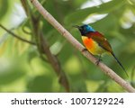 Small photo of Green-tailed sunbird (Aethopyga nipalensis) is one kinds of Nectariniidae