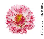 flower motley terry daisy... | Shutterstock . vector #1007151016