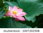 lotus flower blossom    Shutterstock . vector #1007202508