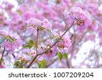 pink trumpet tree  sweet... | Shutterstock . vector #1007209204
