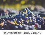 blue vine grapes. grapes for... | Shutterstock . vector #1007210140