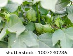 green plants of cotton | Shutterstock . vector #1007240236