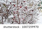 red berries on bush and white... | Shutterstock . vector #1007259970