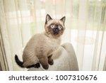 closeup portrait of siamese... | Shutterstock . vector #1007310676