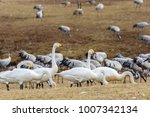 whooper swans walking on a... | Shutterstock . vector #1007342134