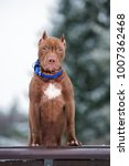 Small photo of american pit bull terrier puppy portrait outdoors