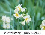 Narcissus Flower. Narcissus...