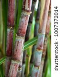 Small photo of sugarcane is a grass of poaceae family. it taste sweet and good for health. Well known as tebu in malaysia