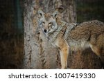 Small photo of portrait of coyote