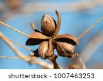 Pecan Nuts On The Tree