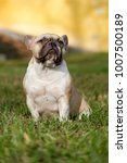 the cute french bulldog in... | Shutterstock . vector #1007500189