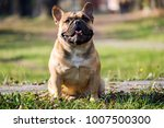 the cute french bulldog in... | Shutterstock . vector #1007500300