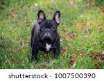 the cute french bulldog in... | Shutterstock . vector #1007500390
