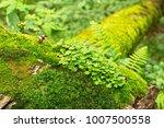 The Oxalis Acetosella  Common...