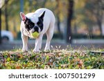 the cute french bulldog in... | Shutterstock . vector #1007501299