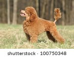Playful Toy Poodle Puppy Posin...