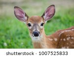 A Young Deer Staring Straight...