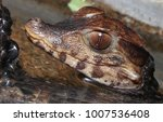 Small photo of Cuvier's dwarf caiman a small crocodilian from south america in alligator family
