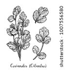 coriander  also known as... | Shutterstock .eps vector #1007556580