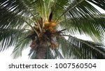 yellow coconut at tree.... | Shutterstock . vector #1007560504