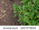 green potato plant. leaf of... | Shutterstock . vector #1007575834