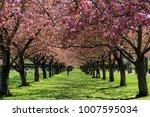 colonnade of cherry blossom... | Shutterstock . vector #1007595034