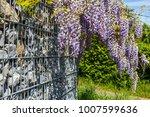 wisteria blossom above gabion... | Shutterstock . vector #1007599636