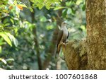 the mountain imperial pigeon ... | Shutterstock . vector #1007601868